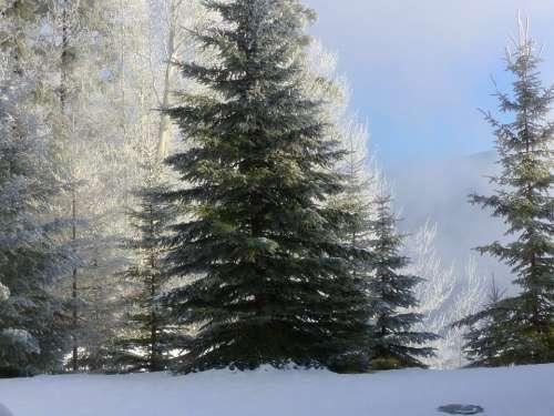 Tree Fir Hoarfrost White Frost Rime Frost Winter