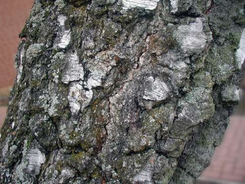Tree Birch Bark Tribe