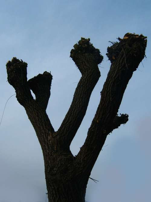 Tree Cut Beschnitten Kahl Pasture Autumn Winter
