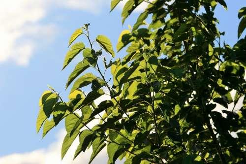 Tree Green Foliage Leaves Light Translucent