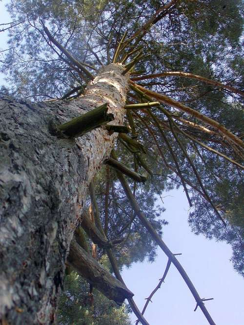 Tree High View Up Strain Branches Heaven