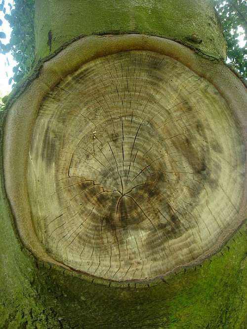 Tree Circle Loss Branch Missing Rings