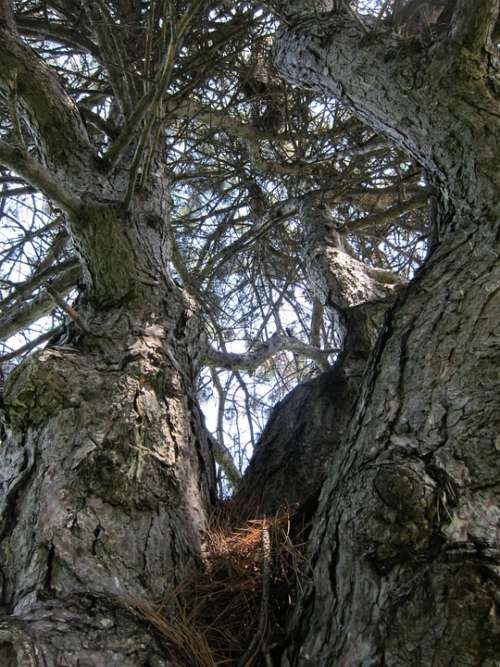Tree Pine Branches Gnarled Nature Plant Natural