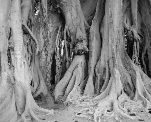 Tree Roots Ficus Garden Park Nature Trees