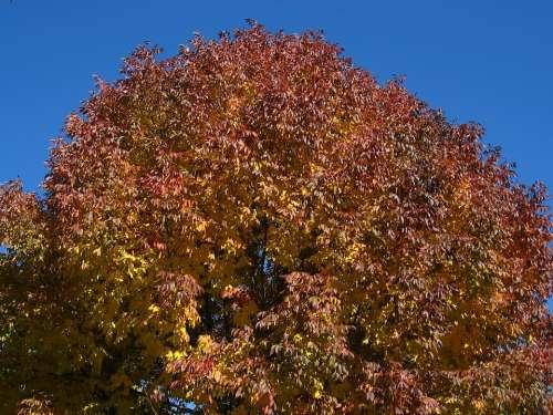 Tree Leaves Autumn Fall Nature Season Foliage