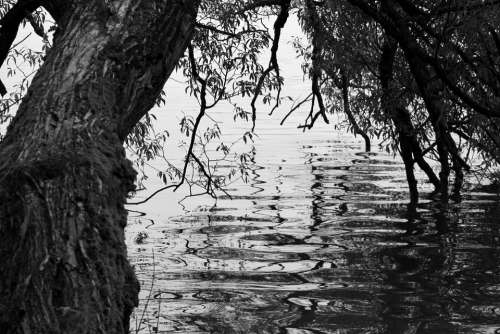 Tree Black White Water Simplicity Black And White