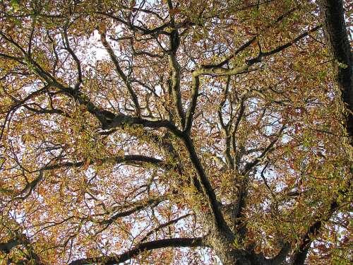 Tree Chestnut Tree Chestnut Leaves Fall Color