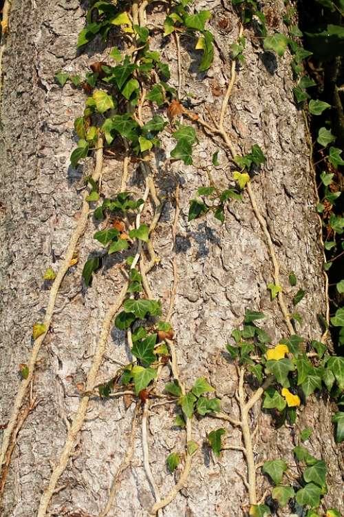 Tree Log Bark Ivy Ivy Leaves Creeper