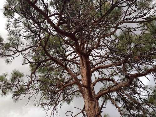 Tree Ponderosa Pine Pine Ponderosa Nature Green
