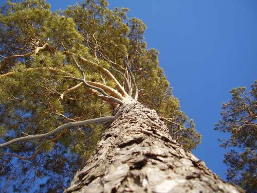 Tree Pine Trunk