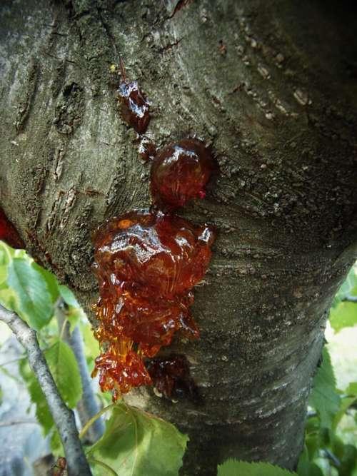 Tree Resin Bark Nature Field Trunk