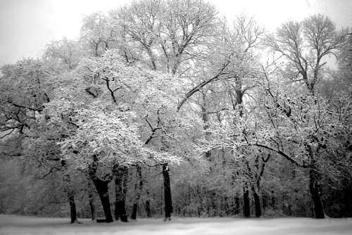 Tree Winter Snow White Nature Black And White