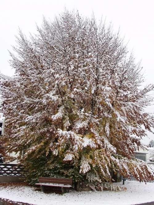 Tree Beech Fall Foliage Winter Blast Snow