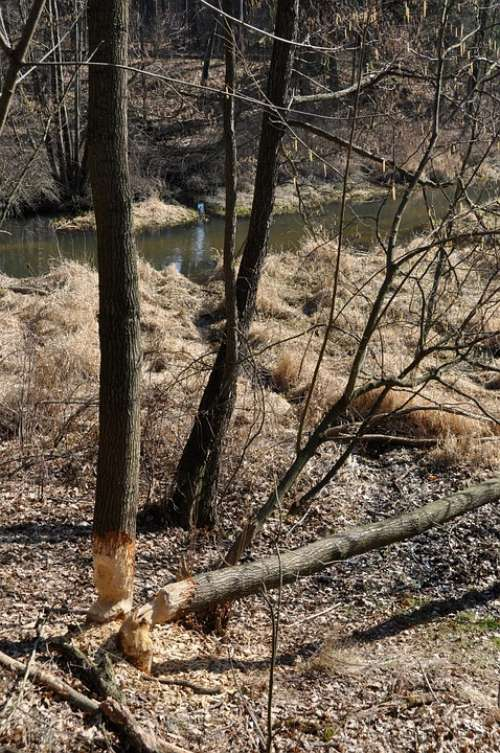 Tree Forest Beaver Lodges Construction Water