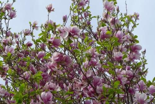 Tree Flower Hanging Flower Flower Tree Pink Garden