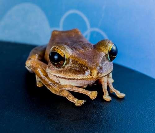 Tree Frog Anuran Frog Amphibians