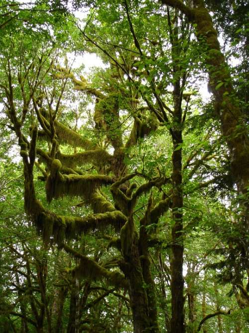 Trees Moss Lake Quinault Nature Wilderness