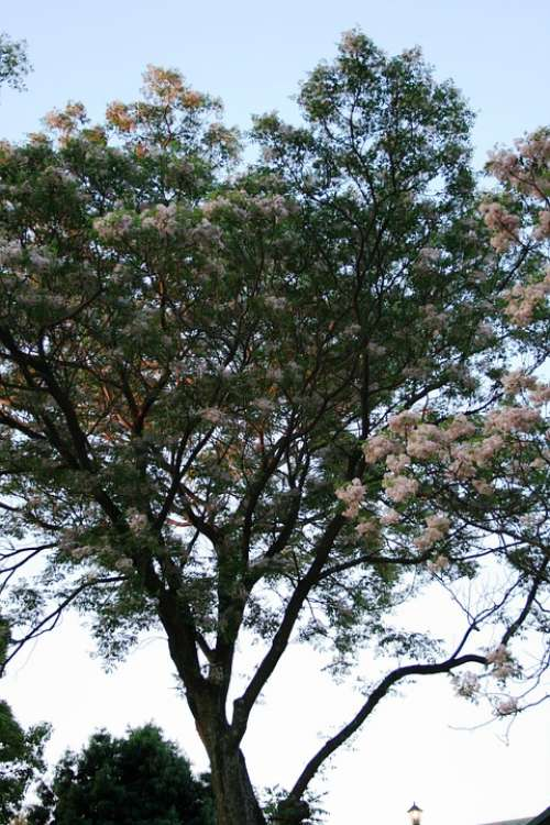Trees Tall Blooming Flowers Clumped White