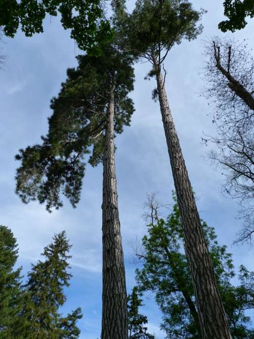Trees Nature Grand Top Slender Landscape Sky