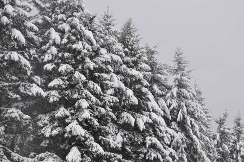 Trees Firs Snow Winter Tree Wintry Forest