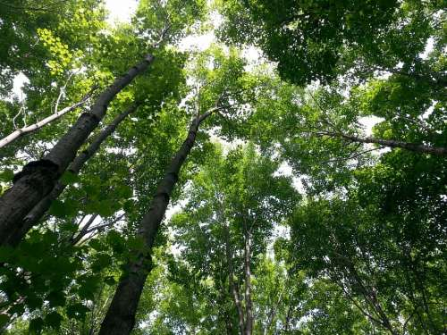Treetop Tree Trees Forest Nature Summer Sky