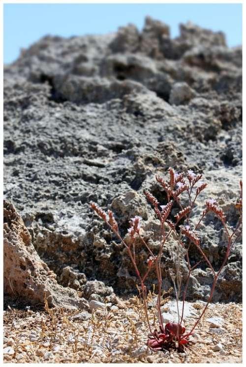 Trockenblume Rock Faded Composites Flower Straw