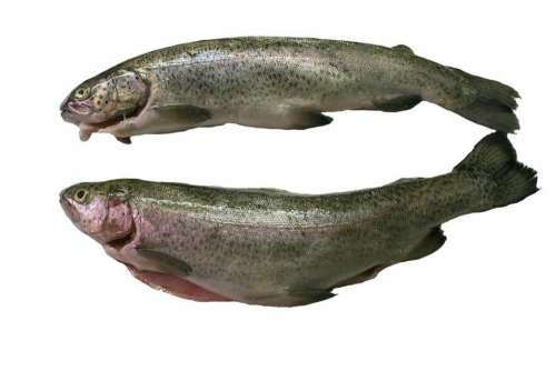Trout Fish Food Eat Proteins Protein Fishing