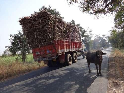Truck Overcharge Cargo Sugarcane Cow India