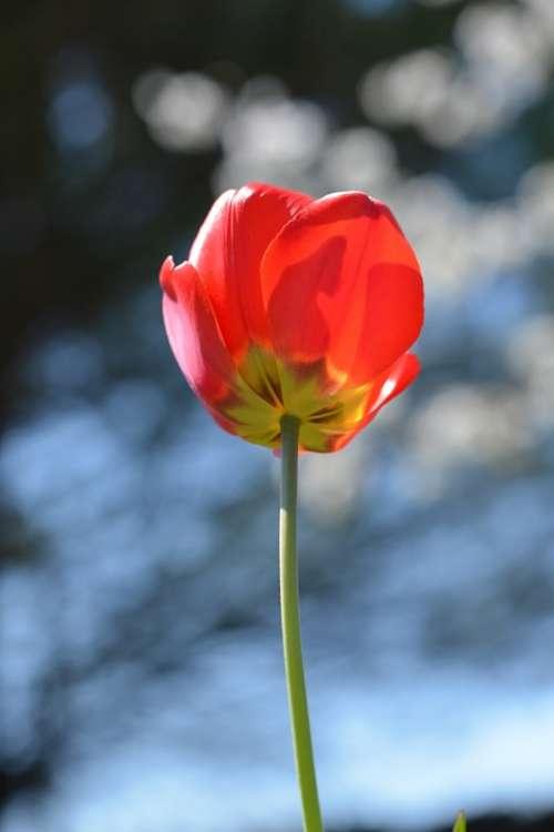 Tulip Red Field Detail Flower