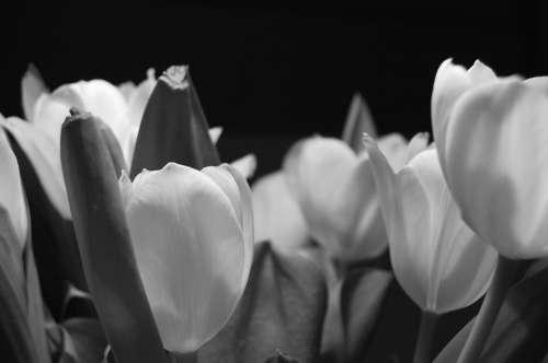 Tulip Flower Night Plant Bloom Spring