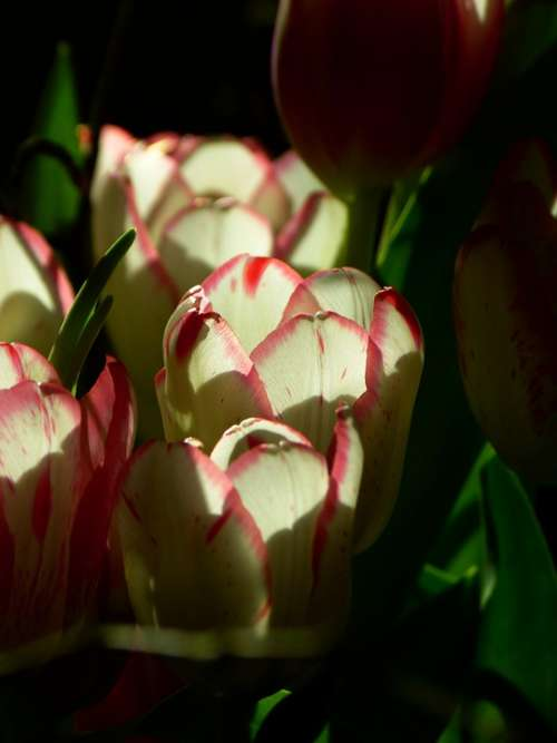 Tulip Blossom Bloom Pink Flowers Plant Nature