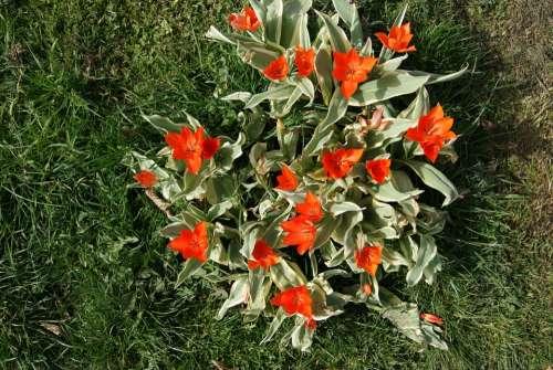 Tulip Flowers Nature