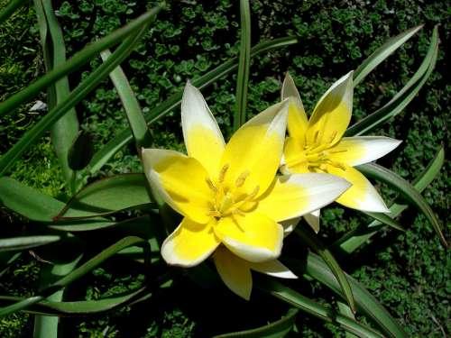 Tulip Spring Flower Yellow Flower Flower Flora