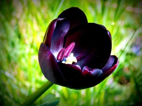Tulip Spring Spring Flowers Purple Garden