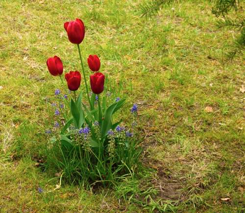 Tulip Tulips Spring Flower Nature Bloom Red