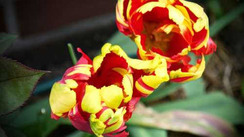 Tulip Spring Nature Yellow Red Flowers