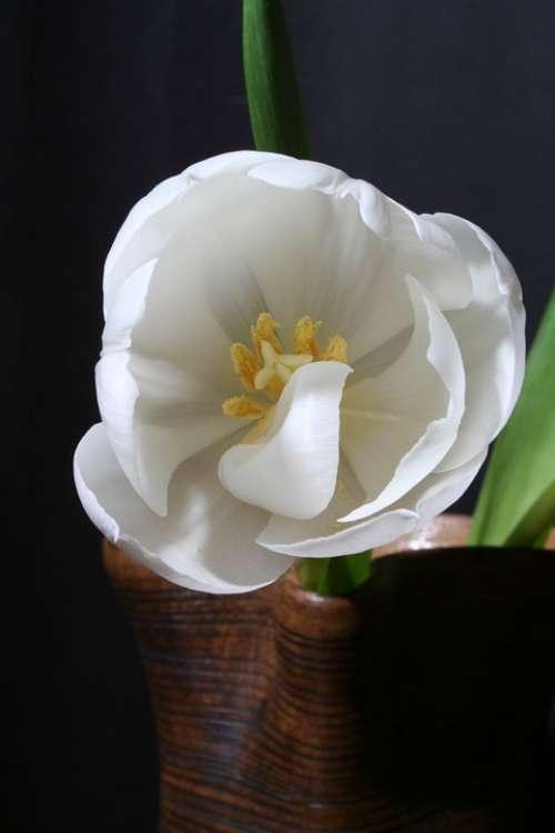 Tulip White Green Flower Blossom Bloom