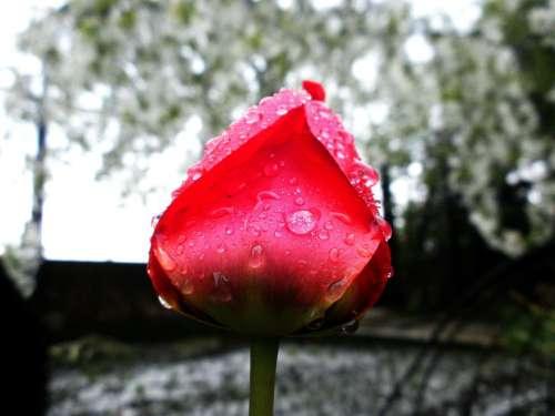 Tulip Flower Spring Nature Beautiful Plant