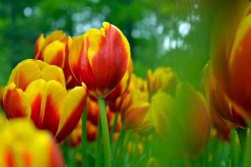Tulip Sea Of Flowers Plant