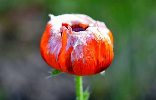 Tulip Tulips Nature Flower Holland Netherlands