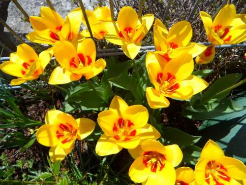 Tulips Blütenmeer Spring Yellow Flowers