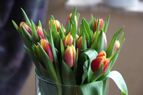 Tulips Flowers Leaves Flower Spring Nature Macro