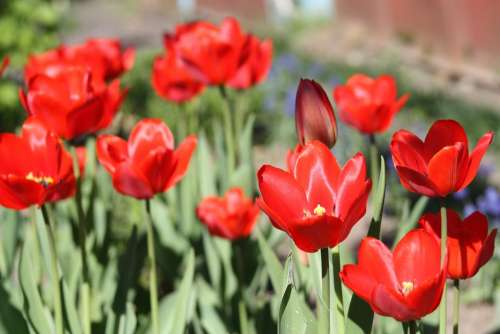 Tulips Tulip Flower Spring Nature Red