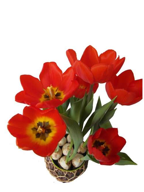 Tulips Red Spring Bloom Blossom Open Isolated