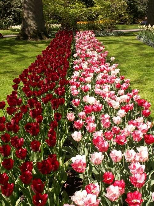 Tulips Flowers Pink Red Holland Keukenhof