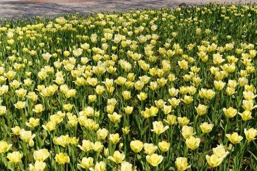 Tulips Tulip Field Yellow Tulpenbluete Colorful