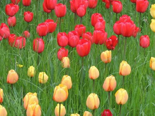Tulips Red Yellow Meadow Green Grass Nature