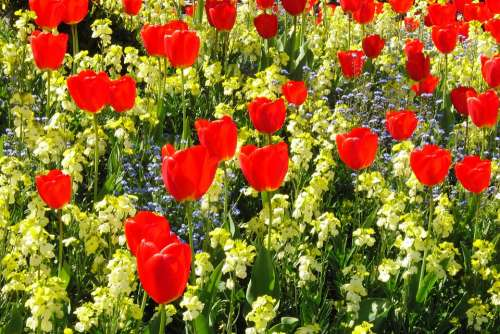 Tulips Red Flowers Flower Blossom Bloom Plant