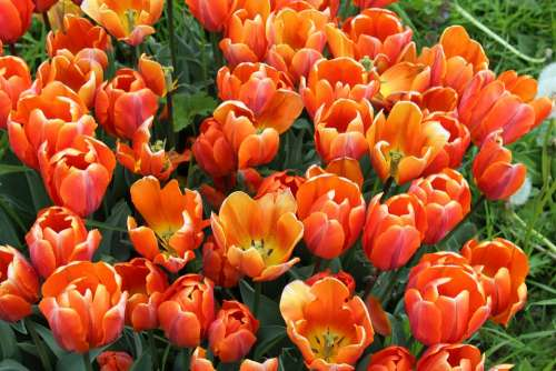 Tulips Tulipa Lily Liliaceae Garden Plant