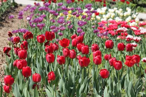 Tulips Red White Lilac Flowers Spring Beauty